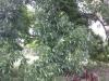 pecan-tree-loaded