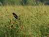 red_wing_blackbird